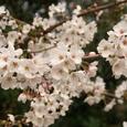 粟嶋神社の桜