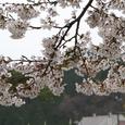 がいせん桜(染井吉野)