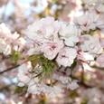 渓流茶屋の近くに咲く八重桜