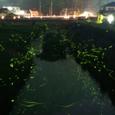 広瀬橋から観るホタルの乱舞